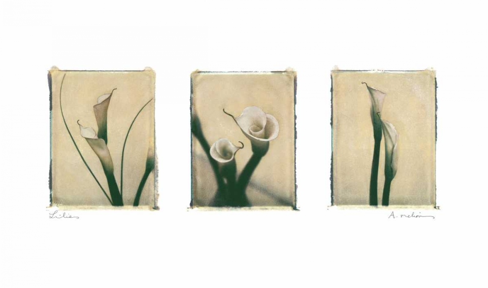 Lilies Melious, Amy 5969