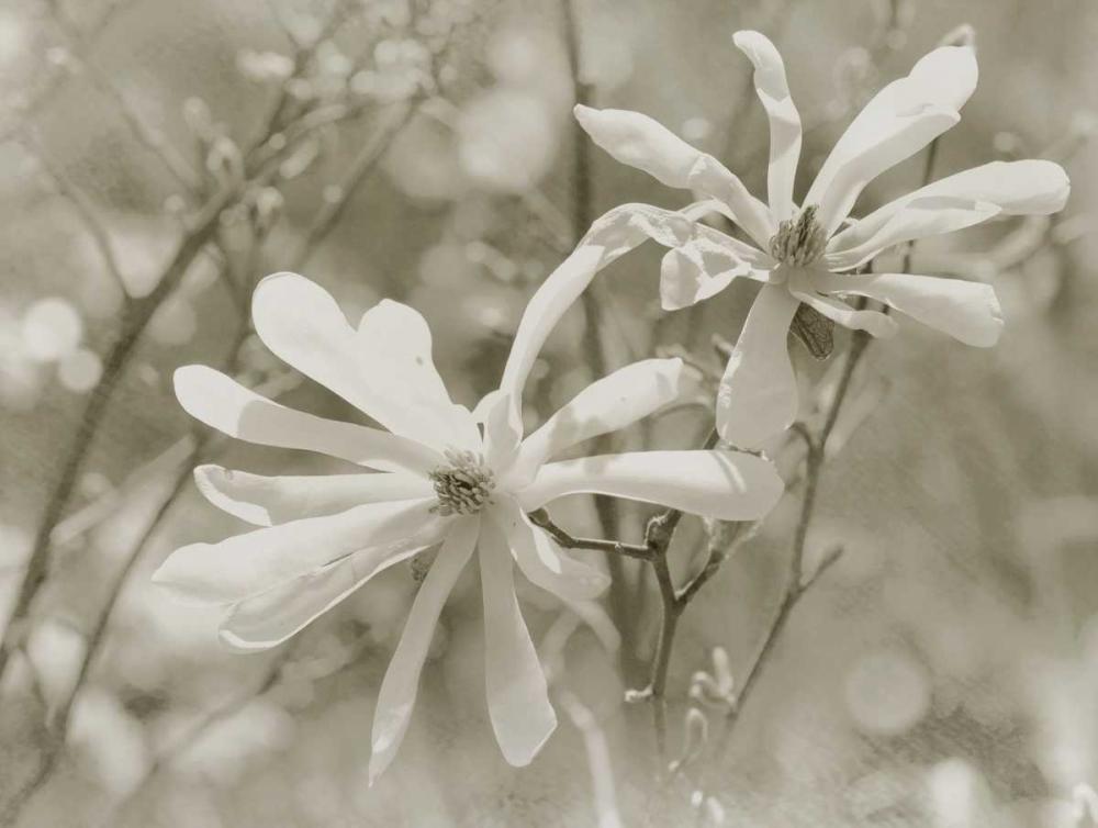 Star Magnolias II Melious, Amy 14079