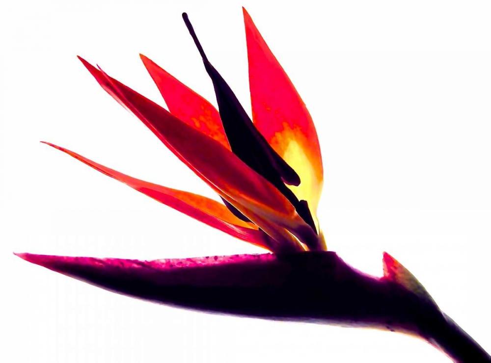 Bird of Paradise II Burkhart, Monika 63766