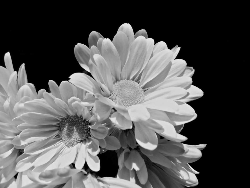 Daisy Dazzle BW II Burkhart, Monika 163939