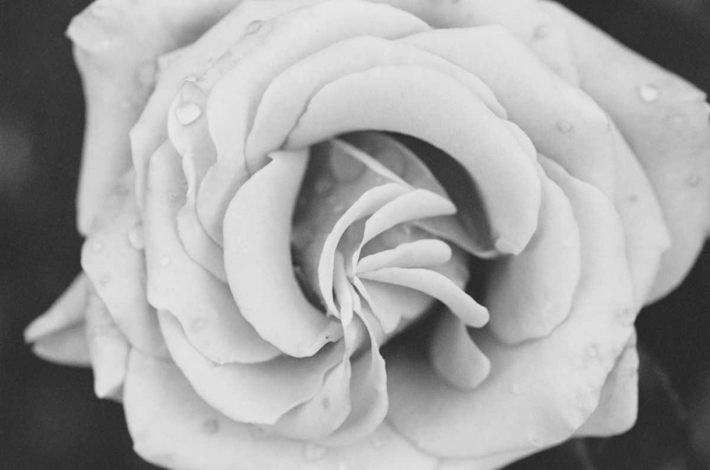 Classic Rose Berzel, Erin 24