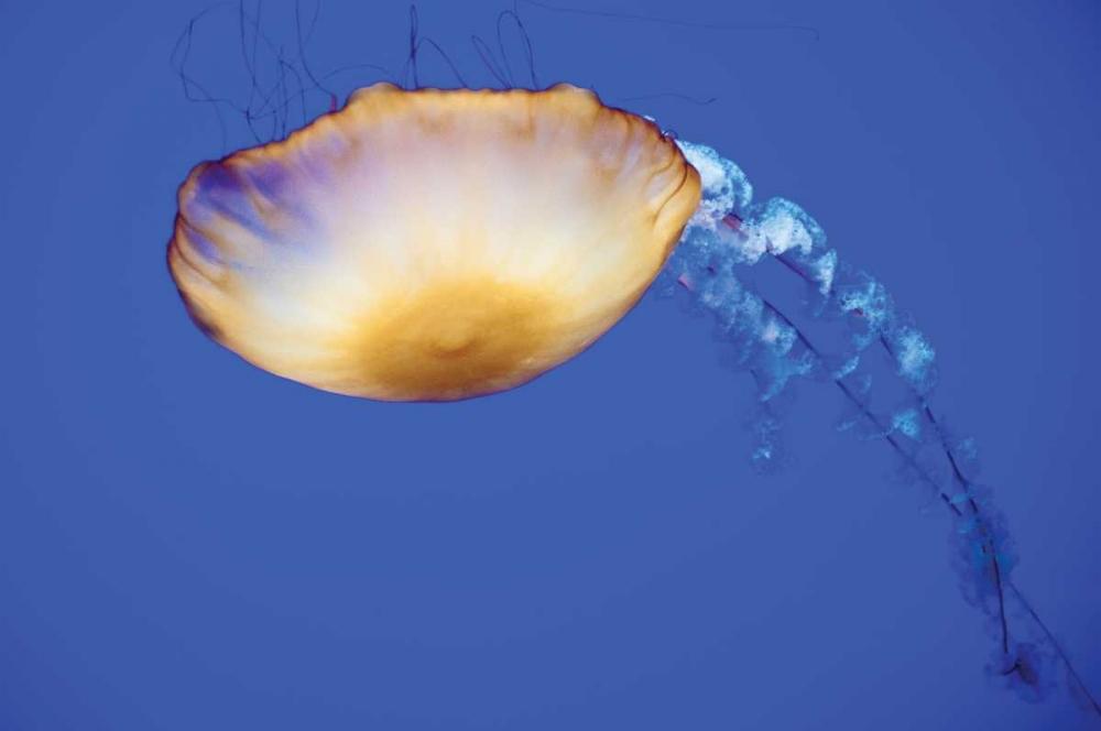Jellyfish V Berzel, Erin 1088
