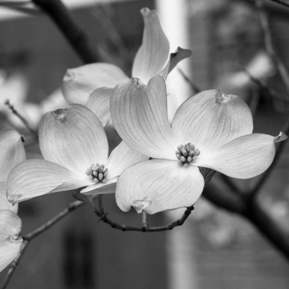 Dogwood Blossoms II BW Sq Berzel, Erin 9437