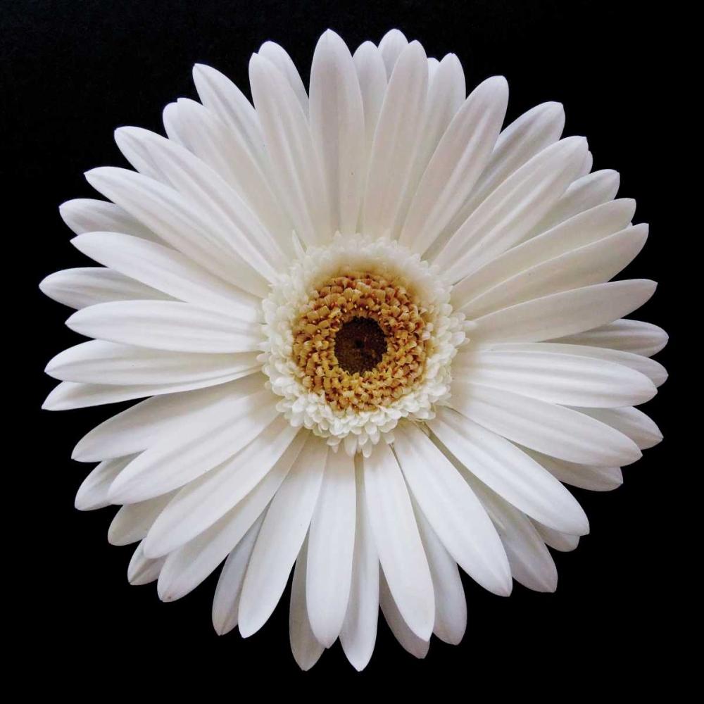 White Gerber Daisy Christensen, Jim 82875