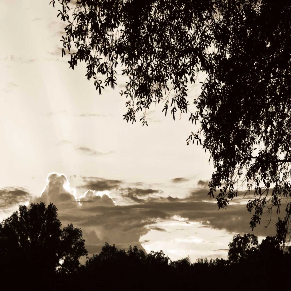 Sunset Trees Sepia Sq I Hausenflock, Alan 9480