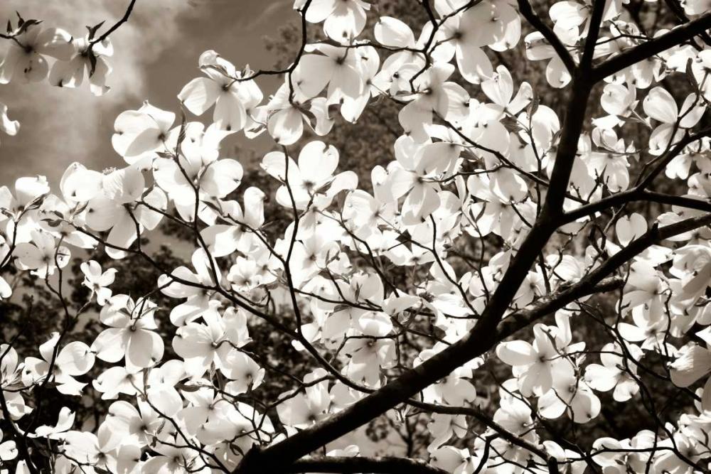 Blossoms II Hausenflock, Alan 64067