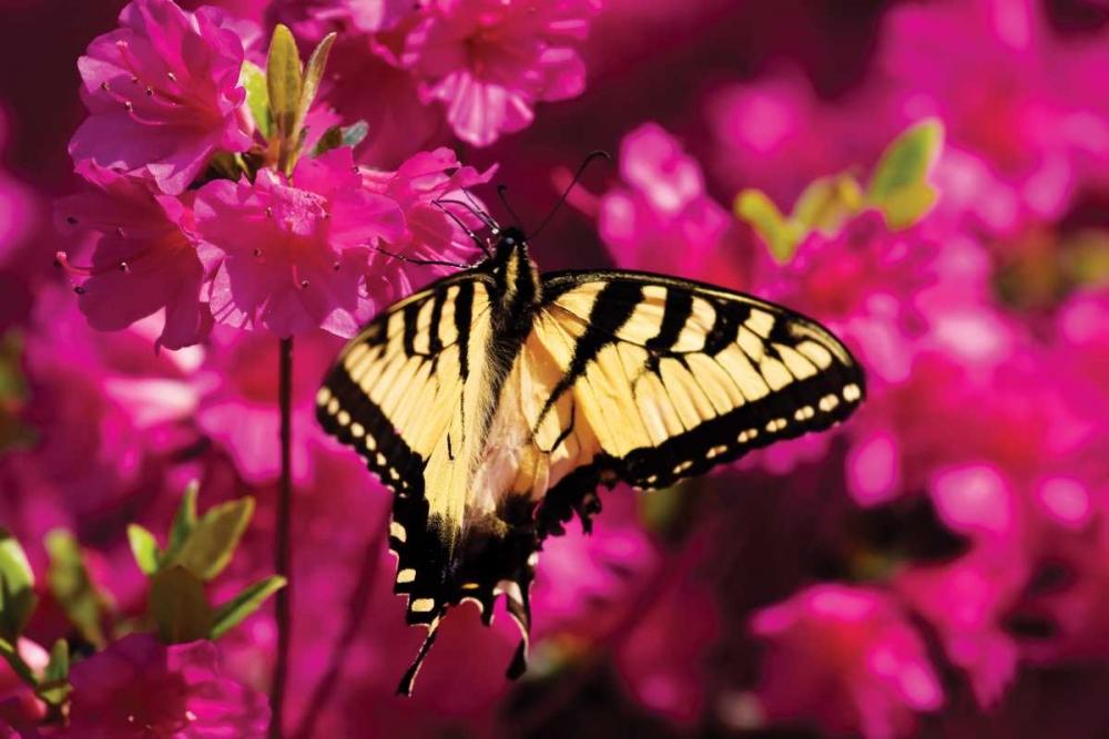 Swallowtail on Azalea Hausenflock, Alan 1298