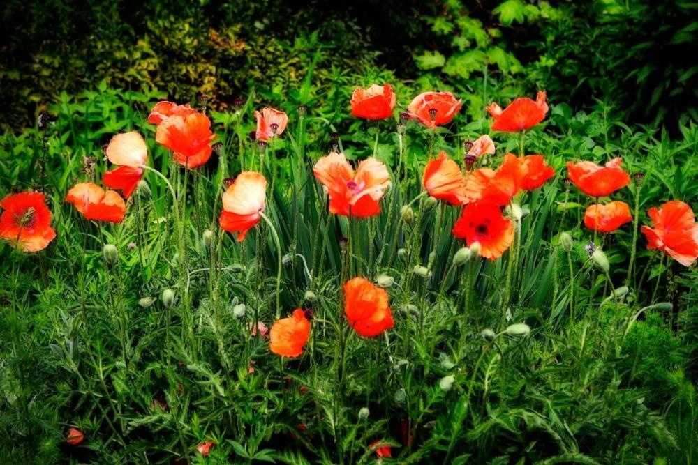 Poppies II Hausenflock, Alan 1319