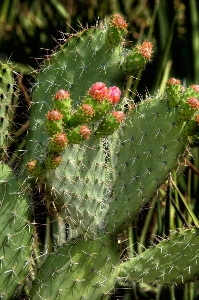 Cactus Flowers II Johnson, George 145718