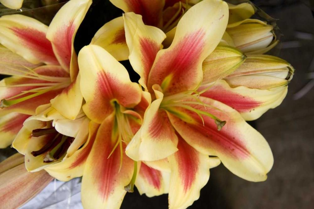 Vanilla Lily I Love, Maureen 2281