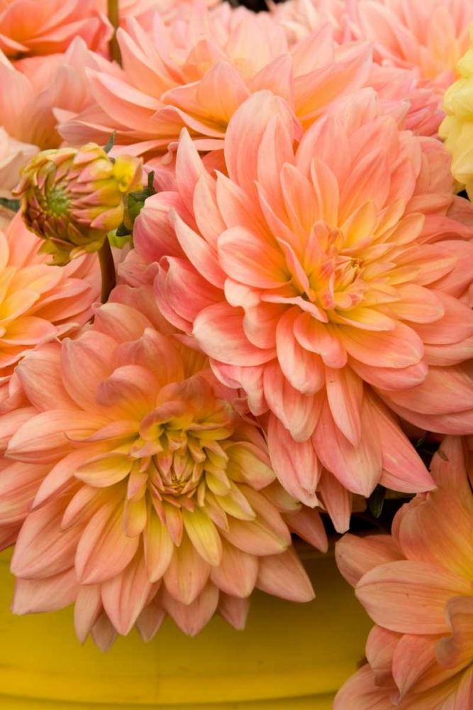 Peach Dalhia IV Love, Maureen 2290