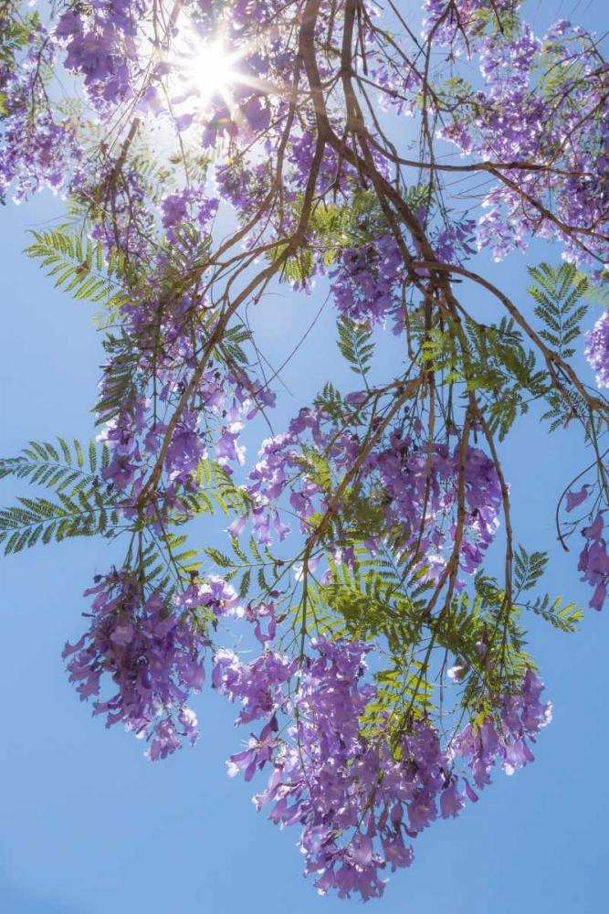 Jacaranda Tree II Mahan, Kathy 20188