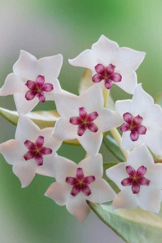 Hoya Bella Blooms II Mahan, Kathy 29586