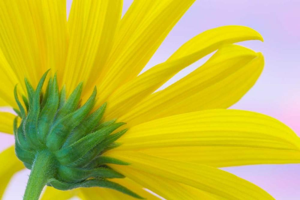 Sunflower Macro I Mahan, Kathy 29607