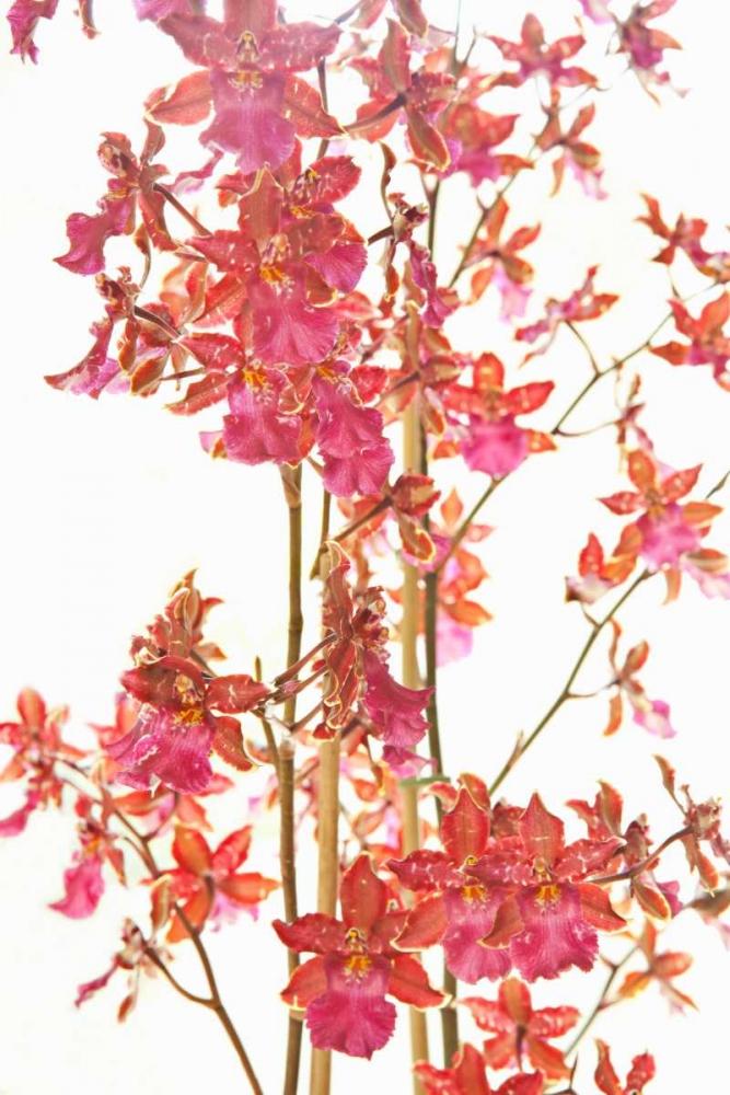 Pink Orchid II Millet, Karyn 20260