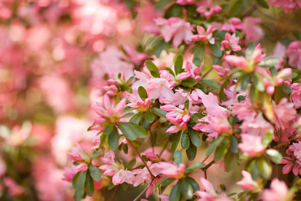 Pink Rhody III Millet, Karyn 146175