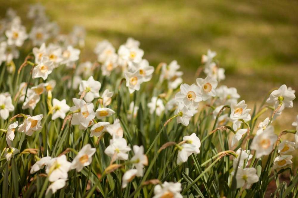 Daffodils Millet, Karyn 146176
