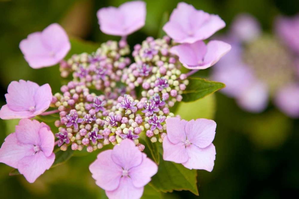 Pink bloom Millet, Karyn 146185