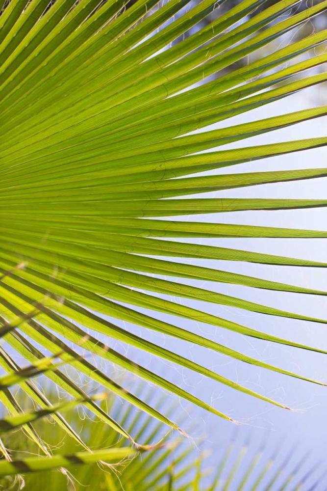 Palm Branch Millet, Karyn 146415