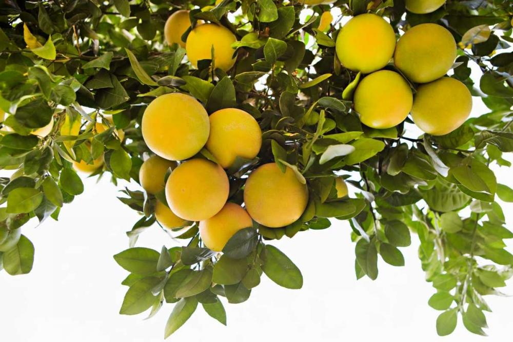 Lemon Grove I Millet, Karyn 146424