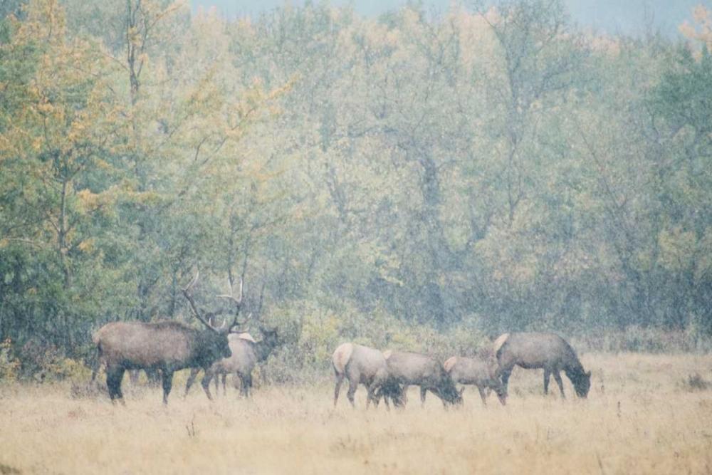 Morning Elk Murray, Roberta 25033