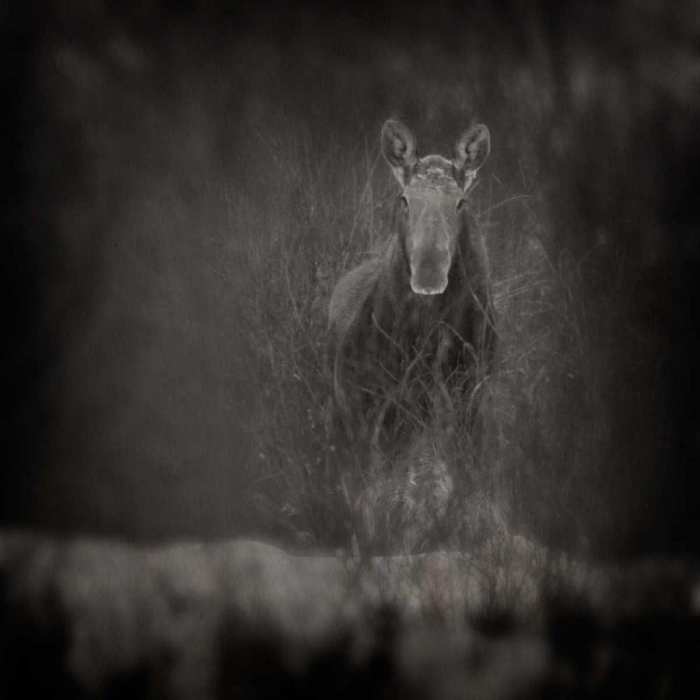 Animalia Moose Murray, Roberta 25038