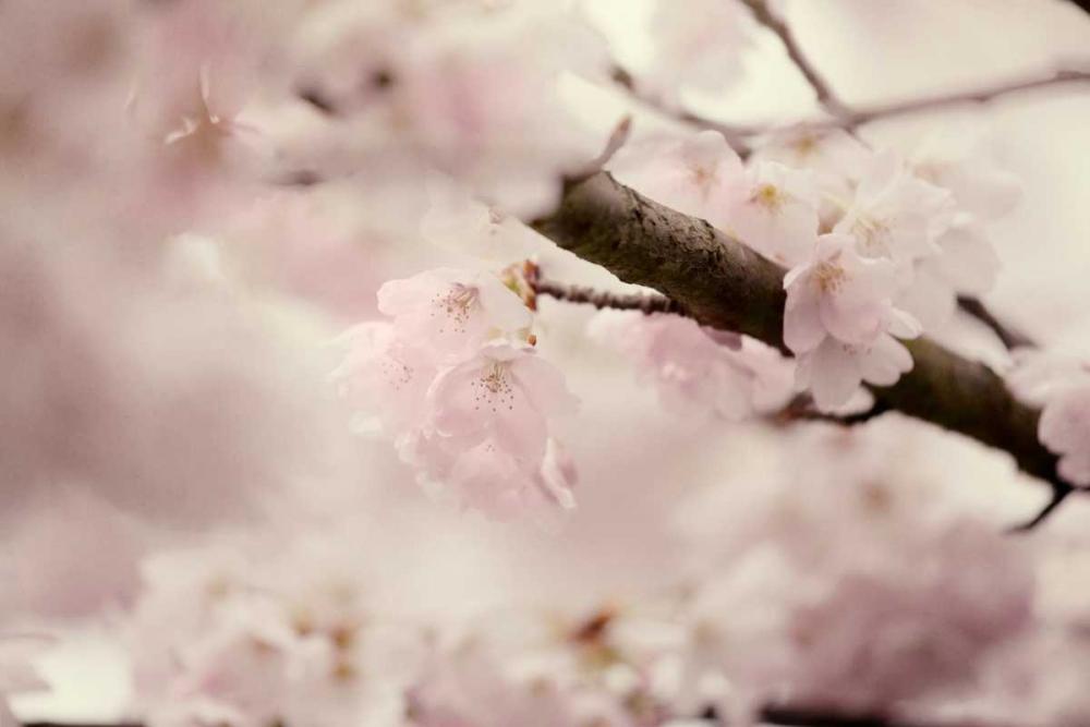 Flowering Cherry I Murray, Roberta 64303
