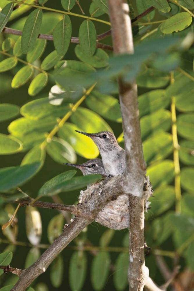Hummingbird I Peterson, Lee 2876