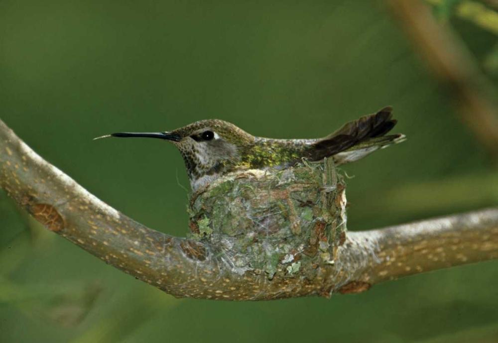 Hummingbird II Peterson, Lee 2877