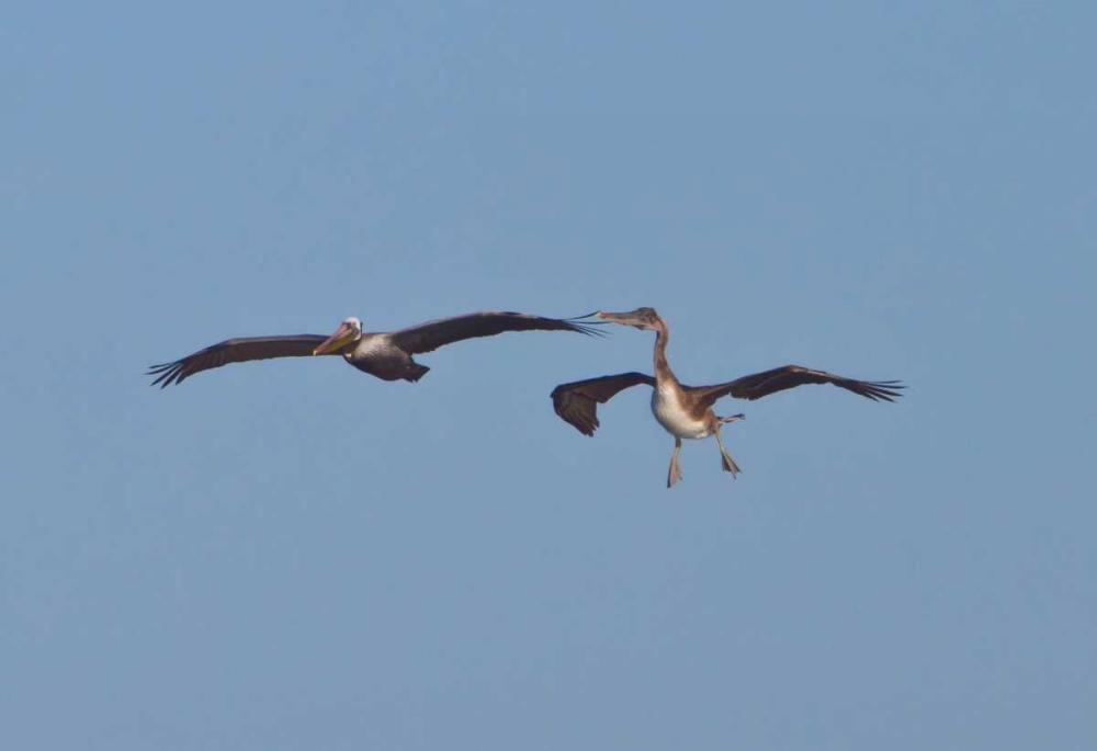 Pelicans in Flight II Peterson, Lee 2928