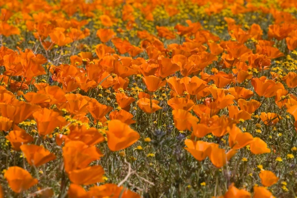 California Poppies I Peterson, Lee 146487