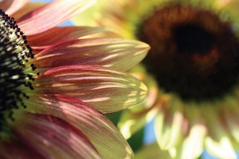 Sunflower II Putman, Tammy 2971