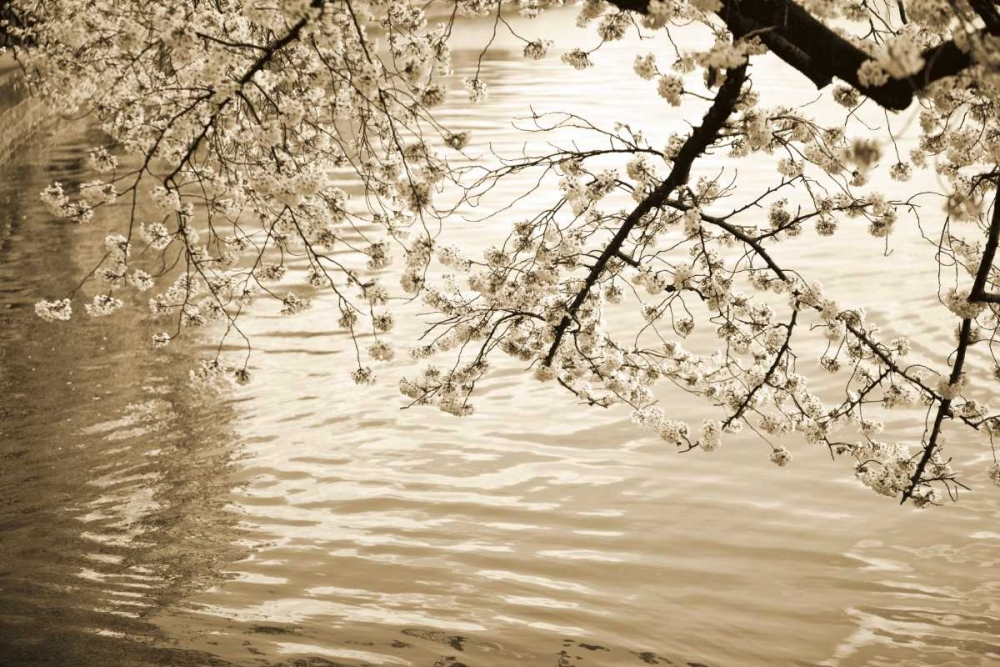Sepia Cherry Blossoms I Stefko, Bob 14528
