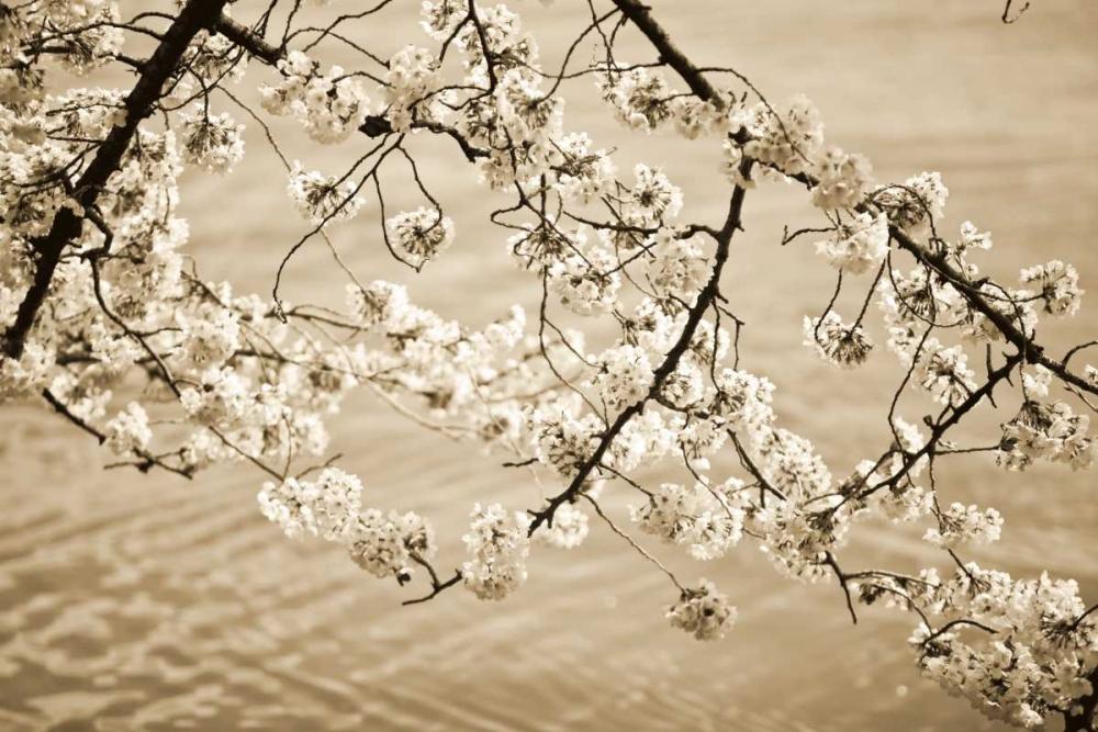 Sepia Cherry Blossoms II Stefko, Bob 14529