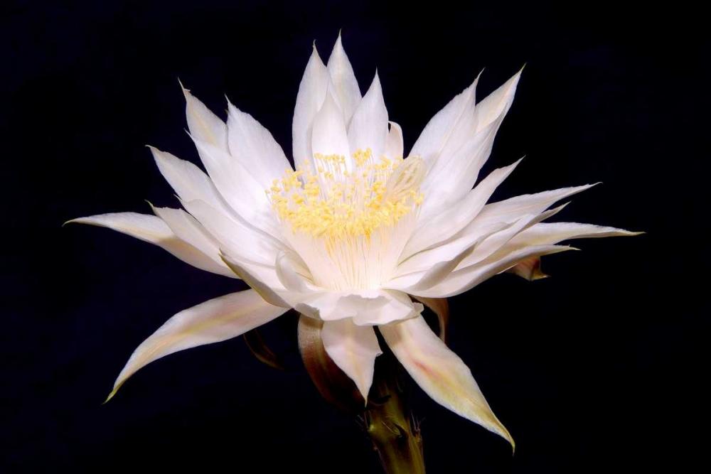 Night Blooms Taylor, Douglas 25122