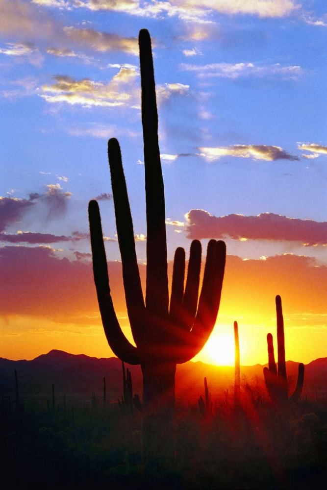 Saguaro Sunset Taylor, Douglas 25154