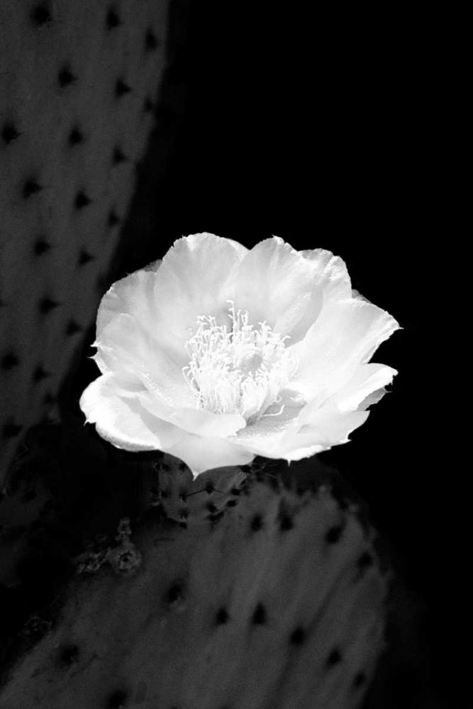 Prickly Pear Cactus Blossom BW Taylor, Douglas 64350