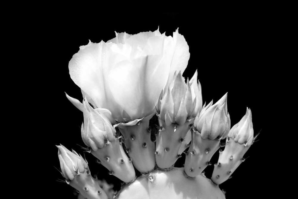 Prickly Pear Blossom and Buds BW Taylor, Douglas 64354