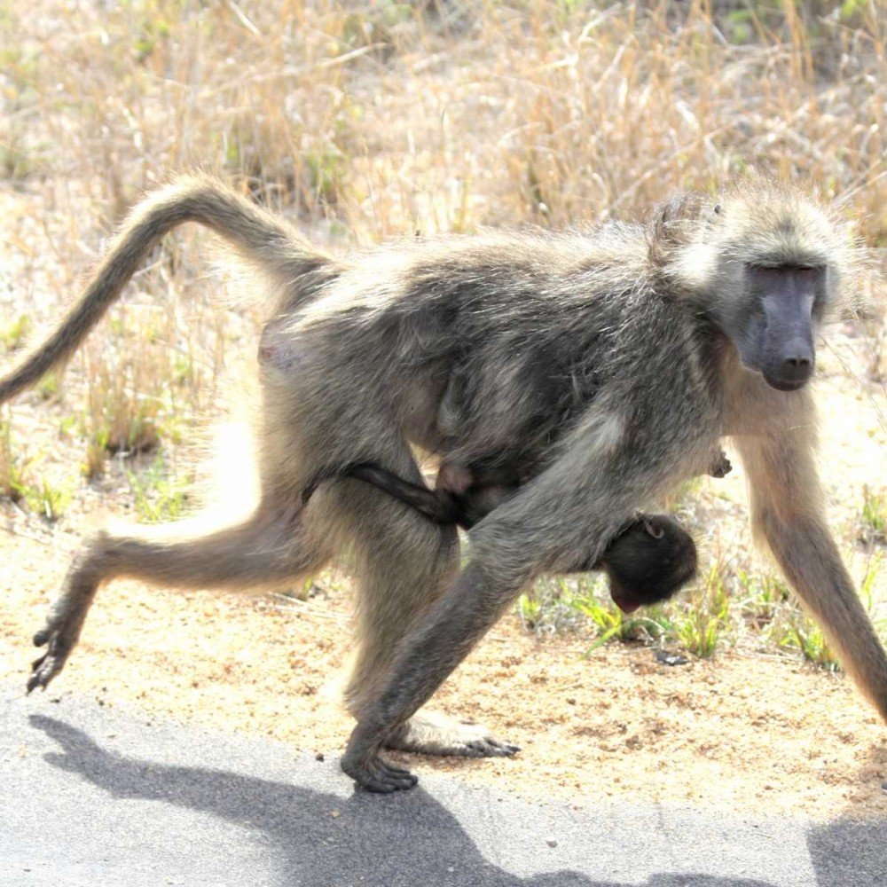 Safari Baboon and Baby I Underdahl, Dana 3639