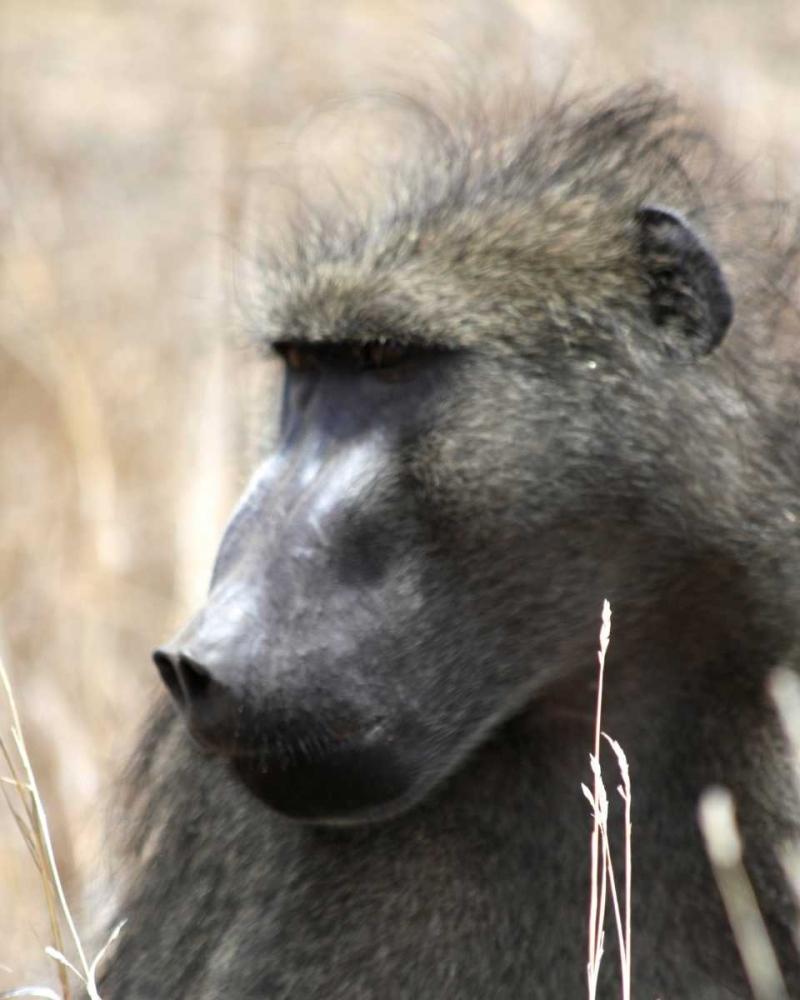 Baboon Portrait II Underdahl, Dana 3642