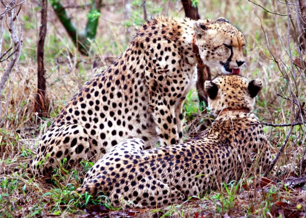 Safari Cheetah II Underdahl, Dana 3655