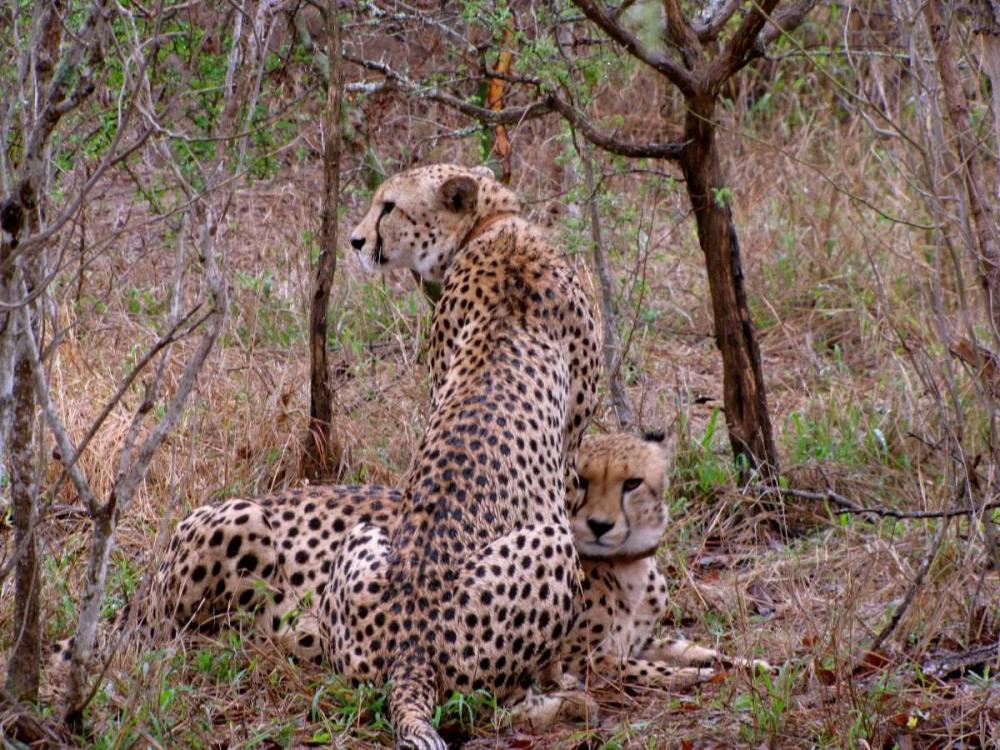 Safari Cheetah III Underdahl, Dana 3656