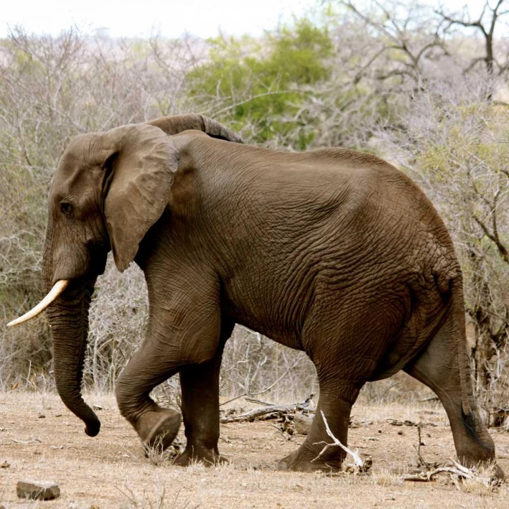 Elephant II Underdahl, Dana 3664