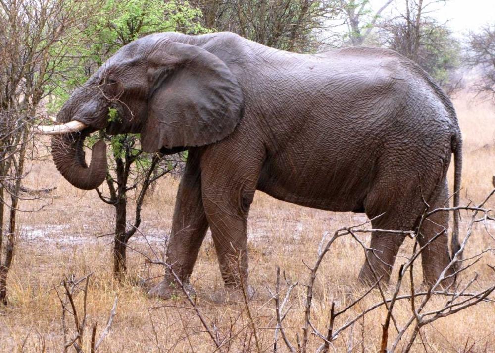 African Elephant I Underdahl, Dana 3668