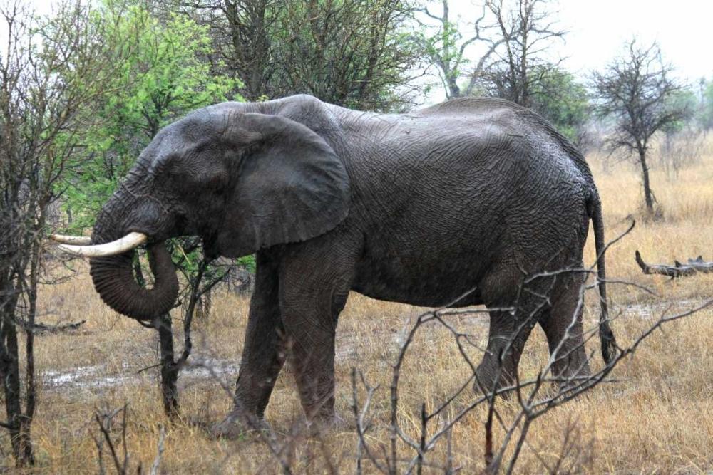 African Elephant II Underdahl, Dana 3669