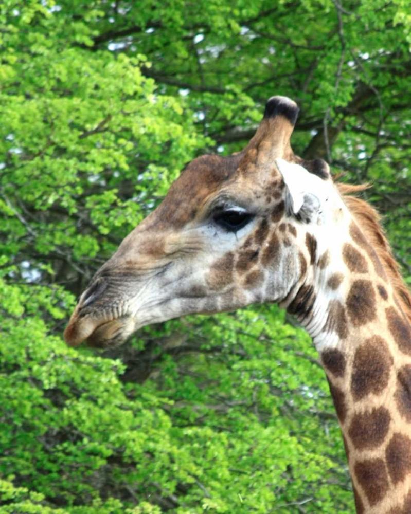 Giraffe III Underdahl, Dana 3672