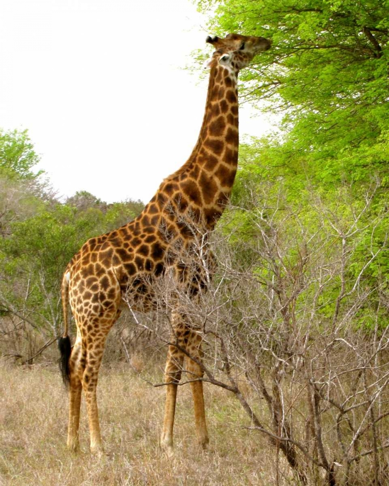 Giraffe Walk III Underdahl, Dana 3674