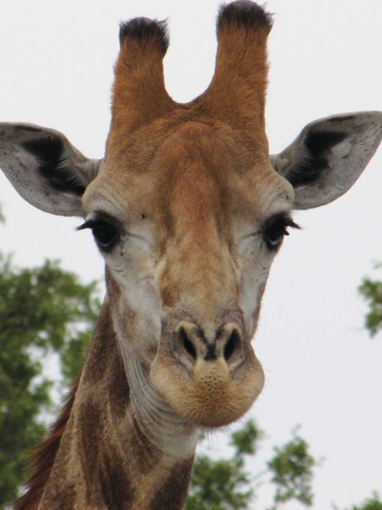 Giraffe Portrait III Underdahl, Dana 3677