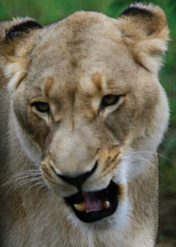 Lion II Underdahl, Dana 3689