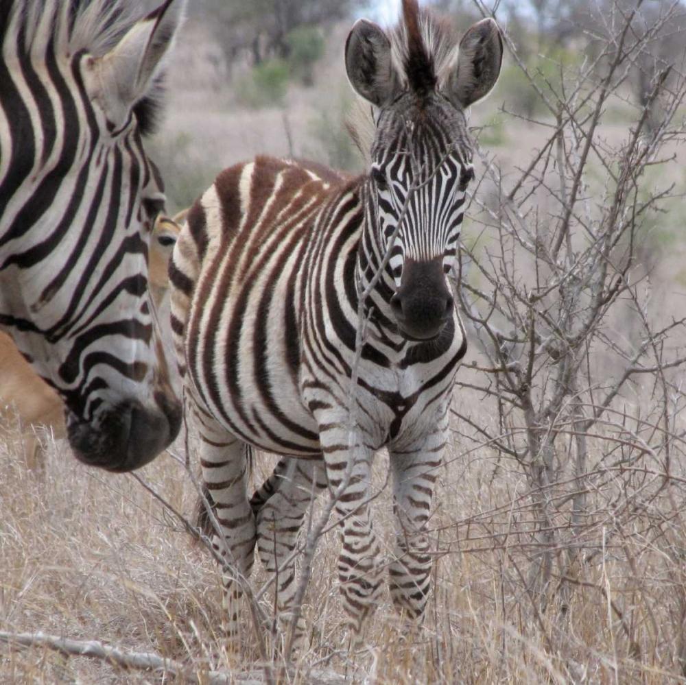 Zebra Baby II Underdahl, Dana 3699